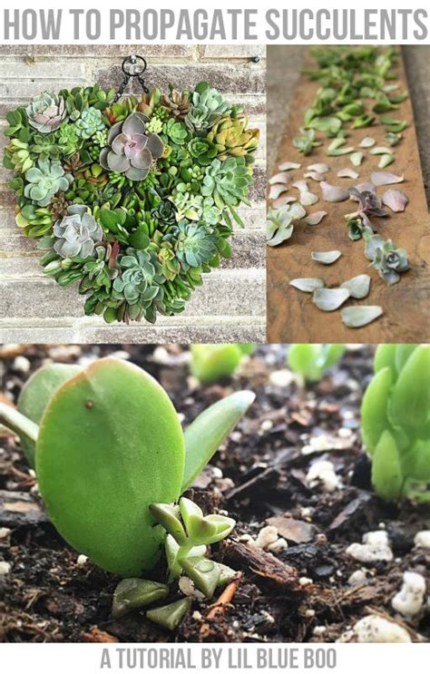 how to grow succulents from leaf cuttings