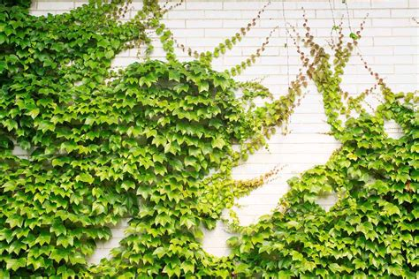 plants that climb fences 3 evergreen wall climbing plants for shade and privacy