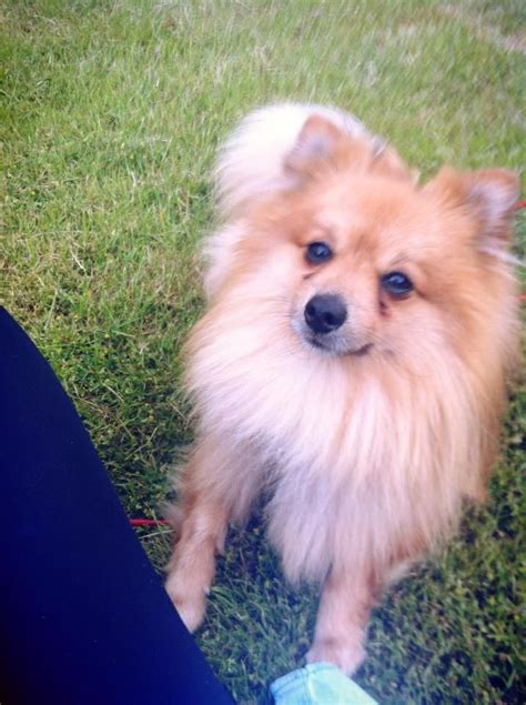 oldest pomeranian 3 year pomeranian for sale weymouth dorset pets4homes