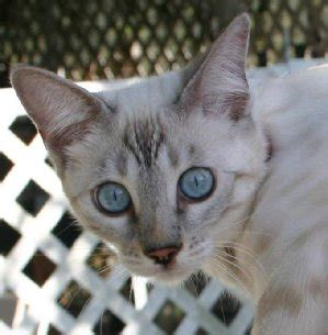 blue eyed snow bengal kitten 3 months old youtube exotic snow bengal kittens for sale and snow bengal cats