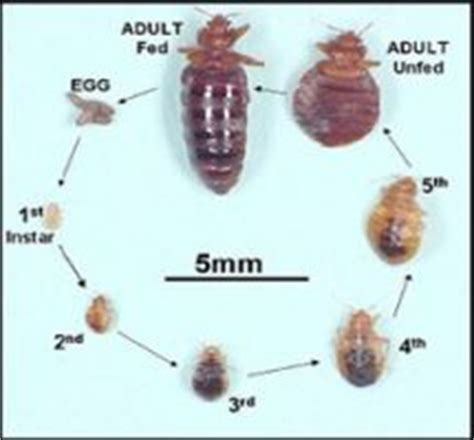 show me a picture of bed bugs show me images of bed bugs 28 images beth s ramblings