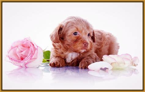 imagenes para fondo de pantalla bebes imagenes de perritos tiernos para fondo de pantalla