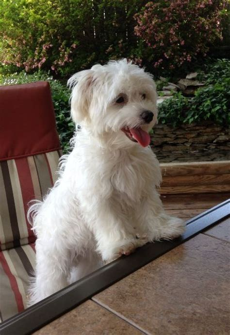 maltese puppy haircuts best 25 maltese haircut ideas on maltese maltese dogs and baby maltese
