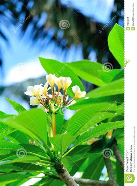 fiori frangipane albero frangipane con i fiori immagine stock
