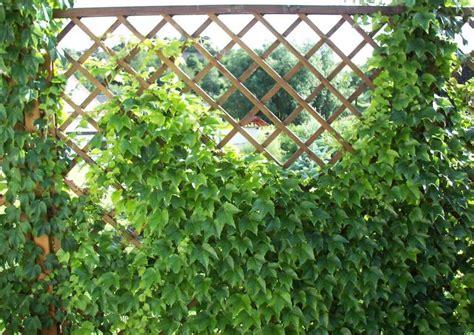 sichtschutz garten pflanze