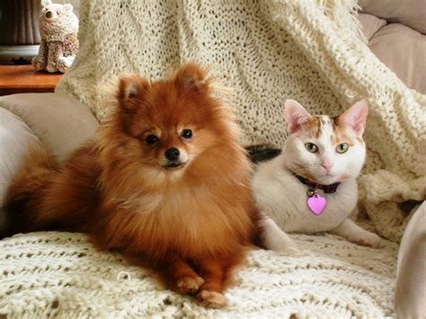 best food for pomeranian puppy best pet best food for pomeranians breeds picture breeds picture