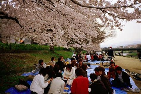 cherry blossom tree facts 10 facts about cherry blossoms fact file