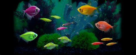 glofish colors tetra fish colors electric green glofish tetra