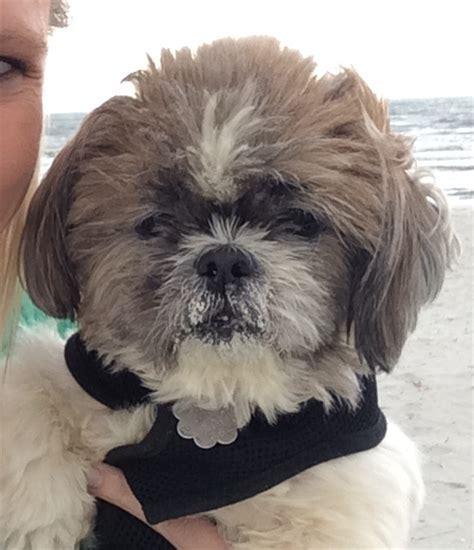 eye drops for shih tzu shih tzus adoption in illinois adopt shih tzu puppies dogs in 2015 personal
