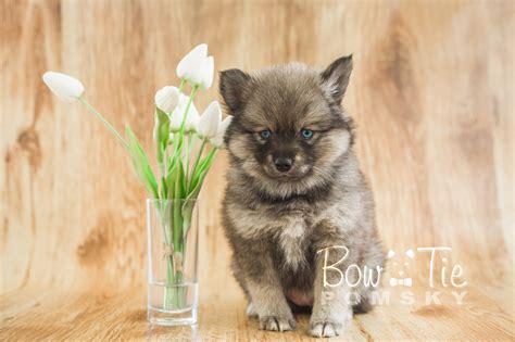 yorkie puppies spokane wa baby pomeranian for sale pets world