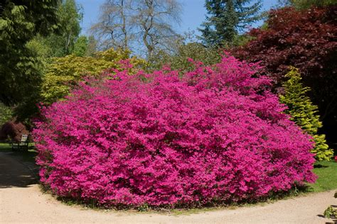 pink flowering bushes and shrubs 6 cool wallpaper