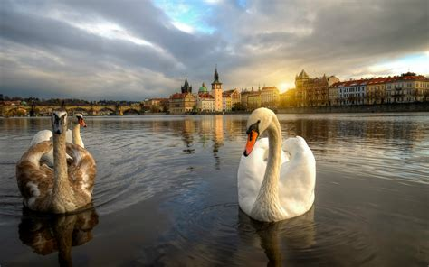 beautiful pictures 2016 swan hd wallpapers beautiful swan hd pictures images