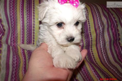 havanese puppies for sale in nj havanese puppy for sale near south jersey new jersey eac992fa 97e1