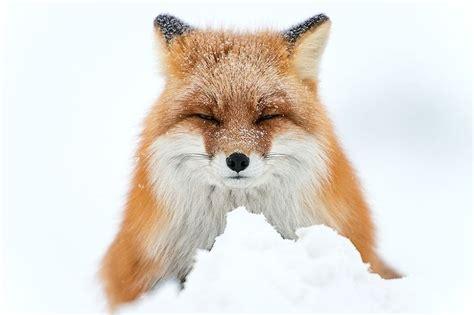 fotos animales zorros 161 20 im 225 genes de zorros en la nieve que derretir 225 n tu