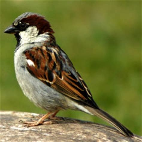 aepma pest profile house sparrow