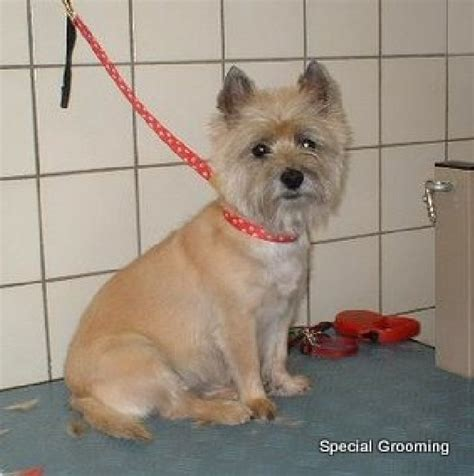 ho to cut a cairn cairn terrier grooming cut trimschema s