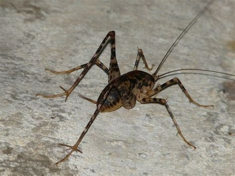 basement crickets editorial column cave crickets are big scary and like