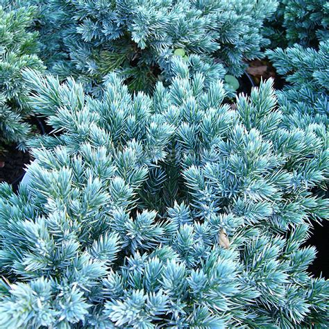 blue foliage plants plant pictures juniperus squamata blue juniper