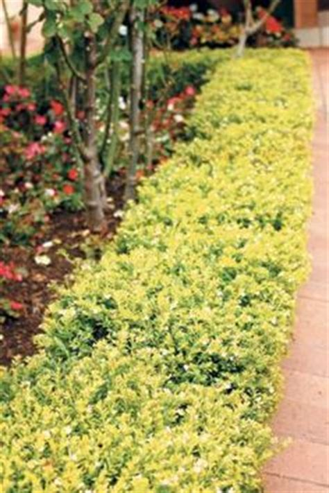 Backyard Tropical Landscaping Ideas - 1000 images about duranta repens shrubs on pinterest hedges shrubs and plants