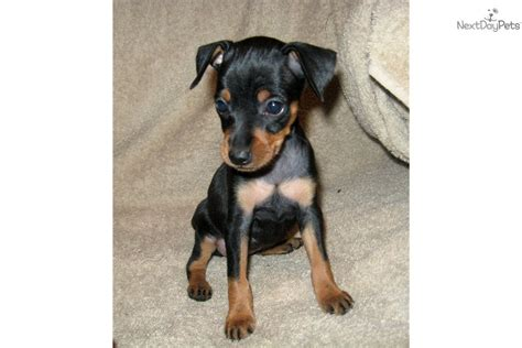 mini pin puppy miniature pinscher puppy for sale near kentucky db042d26 2dc1