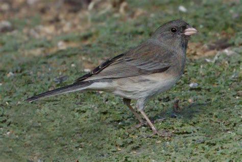 slate colored junco slate colored junco san diego bird spot