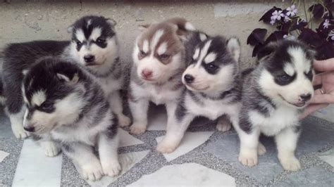 fluffy husky puppies fluffy husky puppies time howling and barking