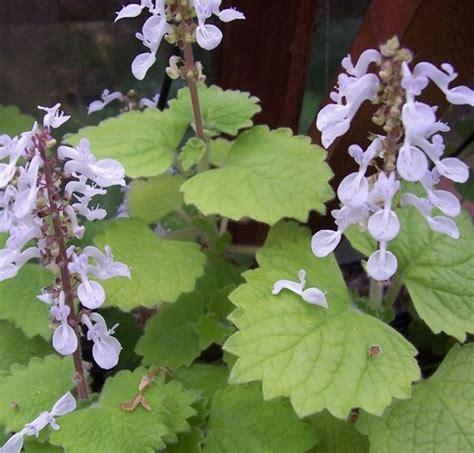Minyak Nilam Mana Yang Benar manfaat yang terkandung dalam tanaman nilam contoh