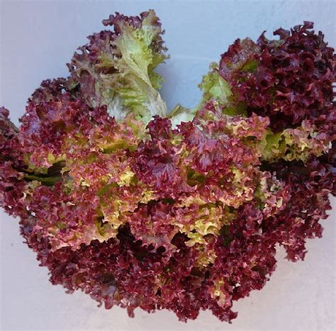 Benih Bibit Seed Sayur Selada Merah Lettuce Cocok Untuk Lalap benih selada rapid lettuce bibitbunga