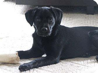 lab puppies cincinnati adopted puppy cincinnati oh cocker spaniel labrador retriever mix