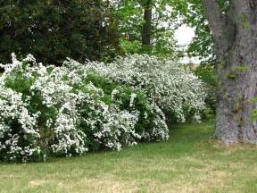 views from the garden bridal wreath spirea