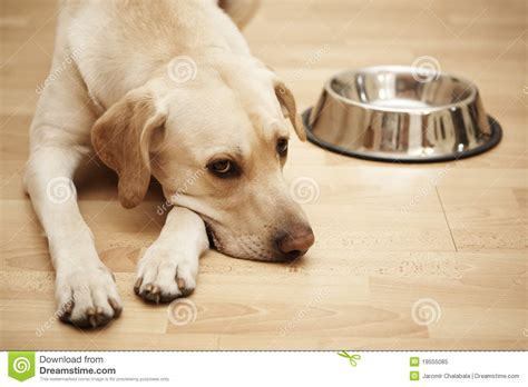 the hungry puppy hungry royalty free stock photo image 19555085