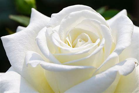 Imagenes De Flores Blancas Significado   imagenes rosas blancas imagui