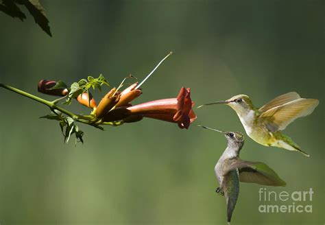 two hummingbirds approach trumpet vine photograph by tj