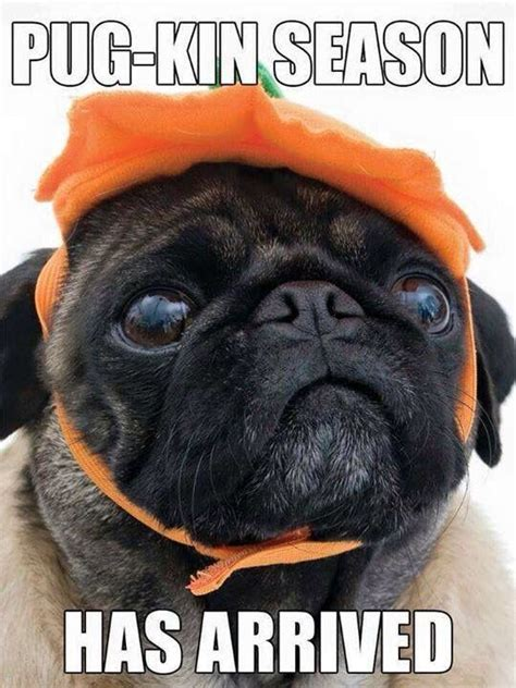 pug costume ideas best 25 pug costumes ideas on pug costume pugs and pug