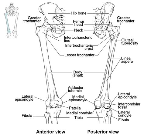 anatomy and physiology coloring workbook answers joints bones of the lower limb anatomy and physiology on anatomy