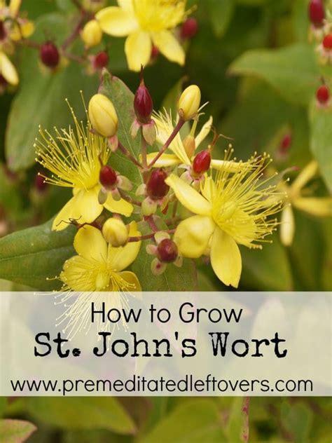 grow st johns wort