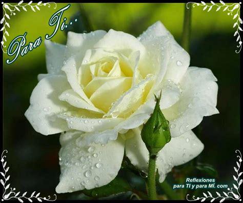 imagenes rosas blancas im 225 genes de rosas blancas con frases gratis imagenes