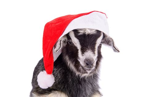 new year animals goat picture new year 2015 goats sheep winter hat animals