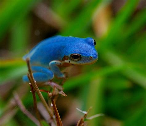 Trijee Blue blue green tree frog www pixshark images galleries