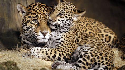 wallpaper little jaguar young jaguar wild cat face