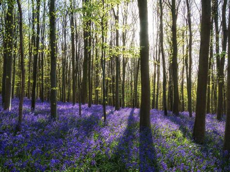 bluebell forest britain s best bluebell woods saga