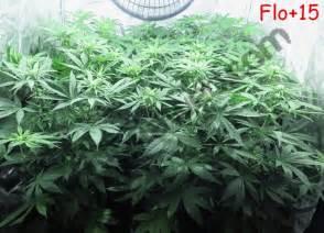 le croissance et floraison cannabis culture de graines de cannabis r 233 guli 232 res en int 233 rieur