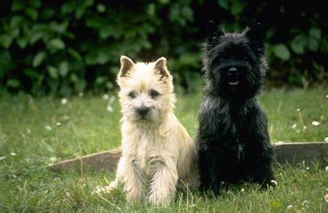 buy puppies cairn terrier pictures