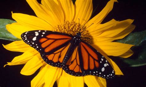monarch butterfly survey indicates lowest numbers in 20