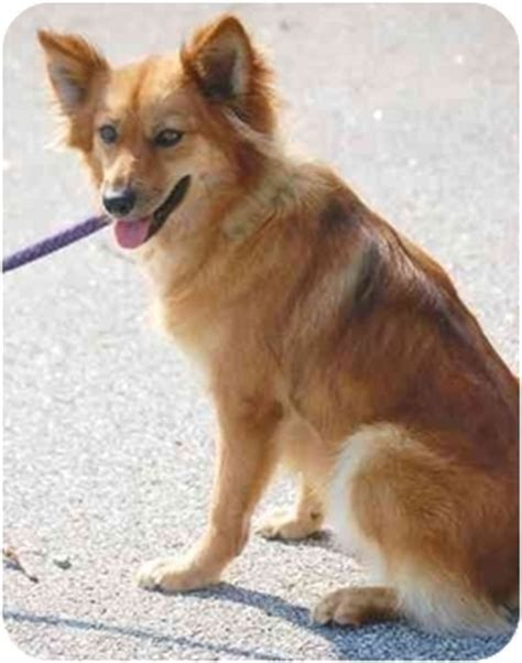 spitz and pomeranian mix ruby adopted inman sc pomeranian spitz mix