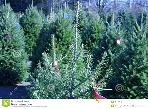 christmas tree farm stock photography image 22470942