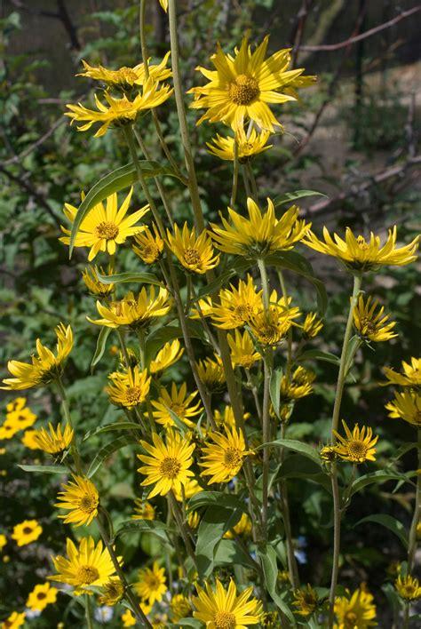 Bibit Biji Bunga Matahari sunflower maximillian 30 biji bijibunga