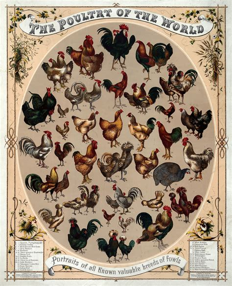 list of breeds list of chicken breeds