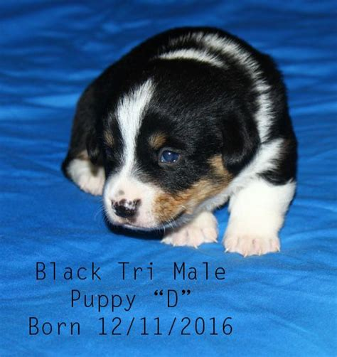 corgi puppies for sale wisconsin 17 of 2017 s best corgi puppies for sale ideas on corgi dogs for sale