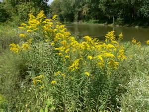 the joys of ragweed ohio birds and biodiversity